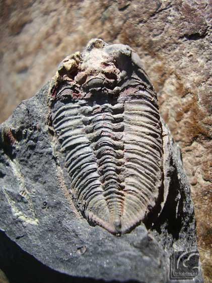Bathycheilus-castilianus-1