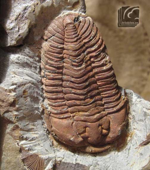 Prionocheilus-mendax-DobInf-1